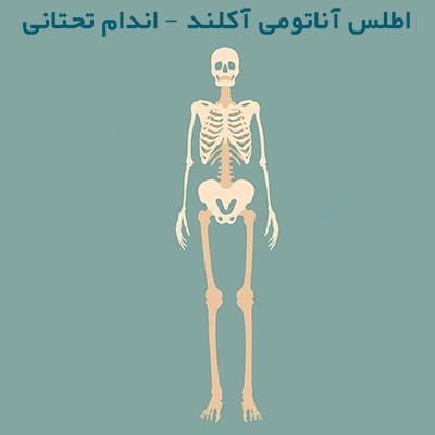اطلس آناتومی آکلند – اندام تحتانی